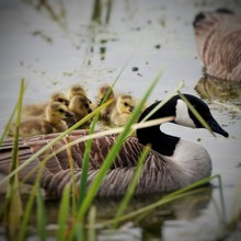 Canada Geese And Goslings Swim...