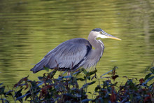 Side View Of Great Blue Heron In Lake