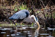 Great Blue Heron In Swamp Alon...