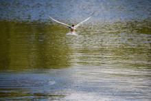 Tern Flying Above Lake