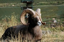 Bighorn Sheep Resting On Grass...