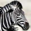 Close-up Side View Of A Zebra Against Clear Sky