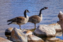 Canadian Geese In Lake By Rock...