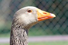 Domestic Goose (Anser Anser Do...