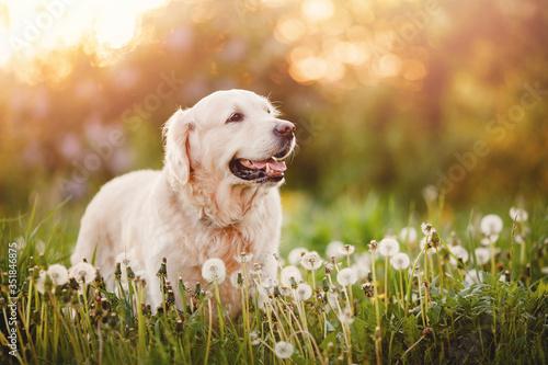 Active, smile and happy purebred labrador retriever dog outdoors in grass park o Fotobehang