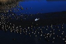 Flying White Heron And Many Du...