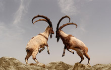 A Beautiful Photo Of Two Mountain Goats Fighting With Long Horns Standing On Two Legs