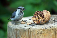Nuthatch Bird With A Pine Cone