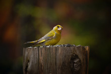 Bird Greenfinch (lat. Chloris Chloris) On A Stump With Sunflower Seeds