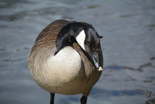 Close-up Of Canada Goose By Lake