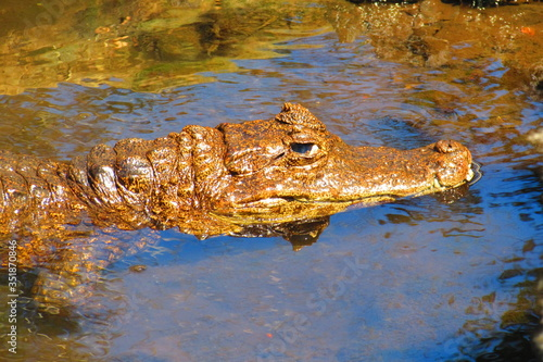 High Angle View Of Alligator In Pond Canvas Print