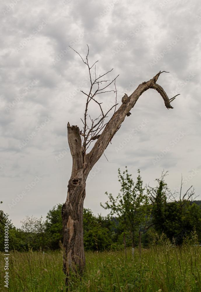 Fototapeta Samotne , uschniete drzewo na polu. Suche konary.  Pien drzewa bez kory.  Pochmurne, szare niebo. Cisza przed burza.  Podmiejskie tereny w Niemczech.