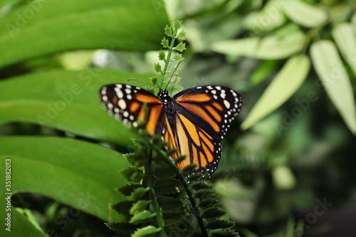 Beautiful monarch butterfly on fern leaf in garden