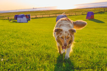 Portrait Of Australian Shepher...