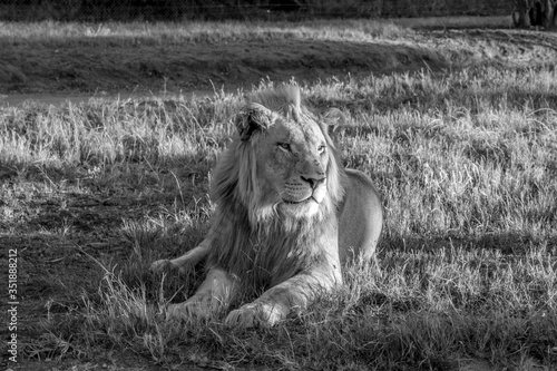 Obraz na płótnie Lion Relaxing On Grassy Field In Forest