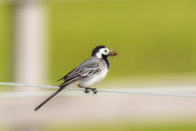 Wagtail With Its Beak Full Of Mosquitoes