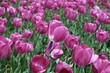 Leinwanddruck Bild - Close-up Of Pink Flowers
