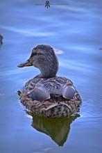 Mallard Duck Swimming On Lake