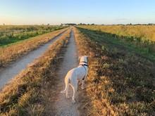 White Dog On Dirt Road At Sunset