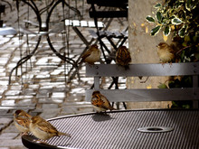 Sparrows On Table And Chairs A...