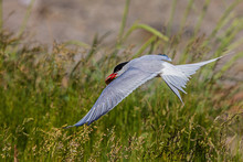 Close-up Of Tern Flying Over Grassy Field