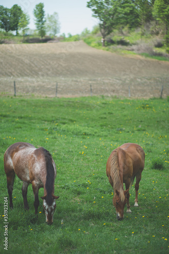 Horses Grazing On Grassy Field