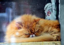 Close-up Of Orange Persian Cat...