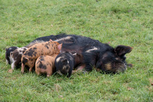 A Group Of Kunekune Piglets Suckling A Mother Pig