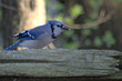 Blue Jay on a fence rail with a seed in his mouth