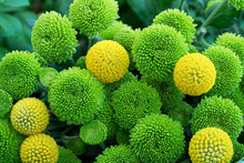 Close-up Of A Bouquet Of Green Daisies And Billy Buttons (craspedia Flowers)