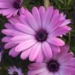 Leinwanddruck Bild - Macro Shot Of Pink Daisy Flower