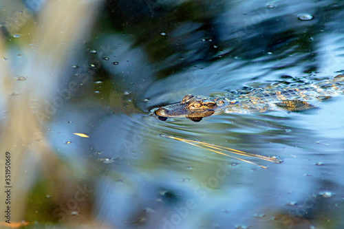Photo Young alligator swimming in a South Carolina marsh.