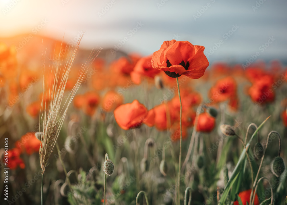 field with green grass and red poppies against the sunset sky. Beautiful field red poppies with selective focus. Red poppies in soft light. Opium poppy. Glade of red poppies. Soft focus blur