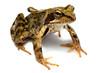 żaba natura
