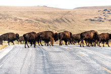 Many Wild Bison Herd Crossing ...