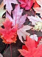 Wet Autumn Maple Leaves On Ground