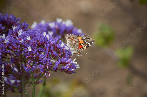 Painted Lady Butterfly on Purple Sea Lavender flowers.  Frontal and side views.