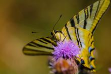 Mariposa Amarilla Con Rayas Negras Sobre Flor Lila. Papilio Machaon. Macro Butterfly.