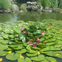 High Angle View Of Pink Water Lilies And Lily Pads On Pond