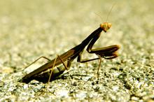 Side View Of Praying Mantis On Rock