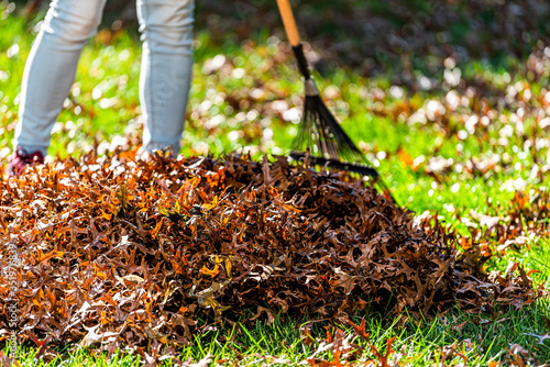 Person homeowner woman in garden yard backyard raking dry autumn foliage oak lea Canvas Print
