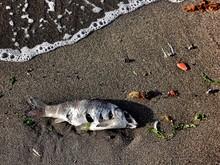 Dead Fish On Shore