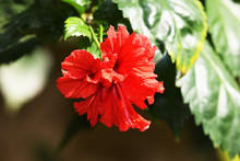 Side View Of Red Hibiscus Rosa...