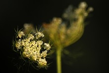 Close-up Of Queen Annes Lace Blooming At Field