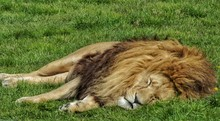 Lion Sleeping On Grassy Field