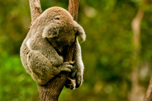 Portrait Of Koala Bear Sleeping