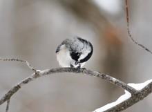 Black-capped Chickadee Perching On Tree