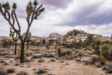 Plants Growing At Joshua Tree National Park Against Cloudy Sky