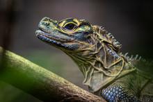 Close Up Of A Philippine Sail Fin Lizard Ion A Branch (Hydrosaurus Pustulatus)