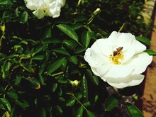 Close-up Of Bee Pollinating On Wild Rose